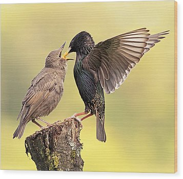 Starlings Wood Print by Grant Glendinning