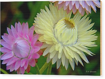 Strawflower Blossoms Wood Print
