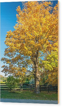 Sugar Maple 2 Wood Print by Steve Harrington