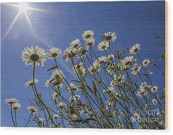 Sun Lit Daisies Wood Print by Brian Roscorla