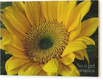 Wood Print featuring the photograph Sunflower by Shirley Mangini