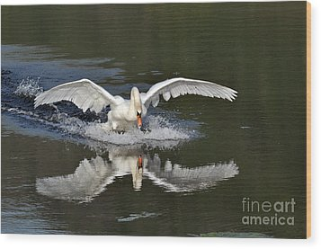 Wood Print featuring the photograph Swan Landing by Simona Ghidini