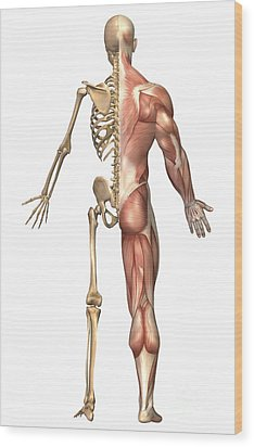 The Human Skeleton And Muscular System Wood Print by Stocktrek Images