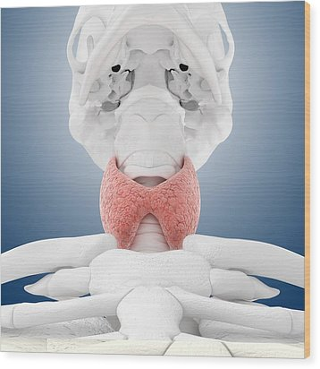 Thyroid Anatomy, Artwork Wood Print by Science Photo Library