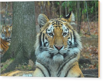Tiger Bronx Zoo Wood Print by Diane Lent