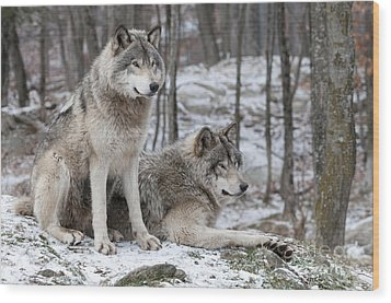 Timber Wolf Pair In Forest Wood Print