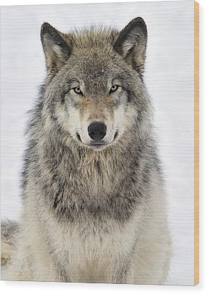 Timber Wolf Portrait Wood Print by Tony Beck