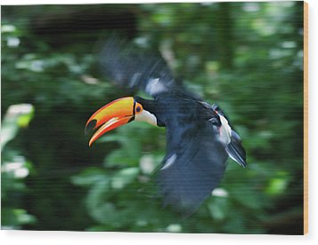 Toco Toucan (ramphastos Toco Wood Print by Andres Morya Hinojosa
