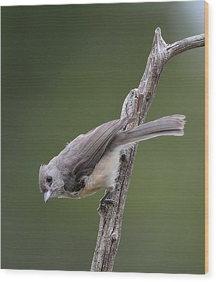 Tufted Titmouse Wood Print by Todd Hostetter