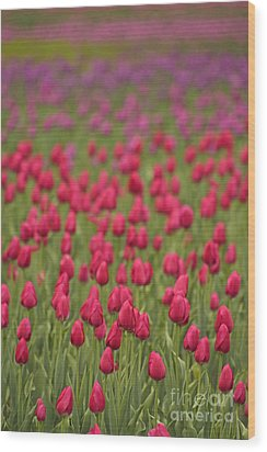 Tulip Beds Forever Wood Print