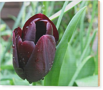 Tulip Queen Of Night Wood Print