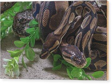 Two Burmese Pythons Python Bivittatus Wood Print