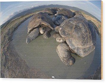 Volcan Alcedo Giant Tortoises Wallowing Wood Print by Tui De Roy