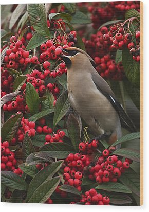 Waxwing Wood Print by Paul Scoullar