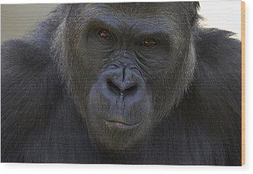 Western Lowland Gorilla Portrait Wood Print by San Diego Zoo