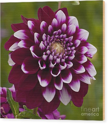 White And Purple Dahlia Wood Print by Mandy Judson