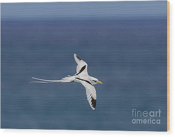 White-tailed Tropicbird Wood Print