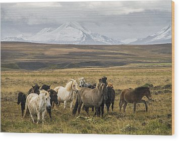 Wild Icelandic Horses Wood Print by For Ninety One Days