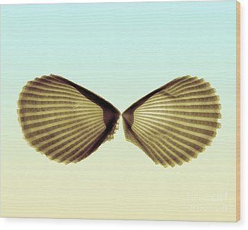 X-ray Of Angel Wing Shells Wood Print by Bert Myers