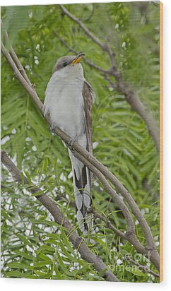 Yellow-billed Cuckoo Wood Print by Anthony Mercieca