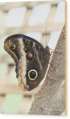 Yellow-edged Giant Owl Butterfly #4 Wood Print by Judy Whitton