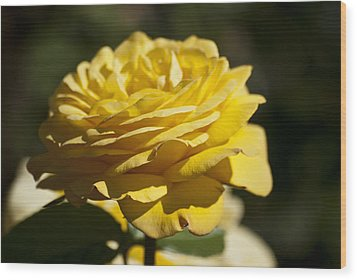 Yellow Rose Wood Print by Steve Purnell