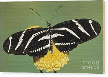 Zebra Longwing Butterfly Wood Print by Millard H. Sharp