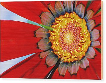 Zinnia In Red Wood Print by Wendy Wilton
