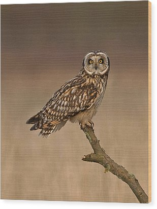 Short Eared Owl Wood Print by Paul Scoullar