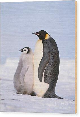 Emperor Penguin Aptenodytes Forsteri Wood Print by Hans Reinhard