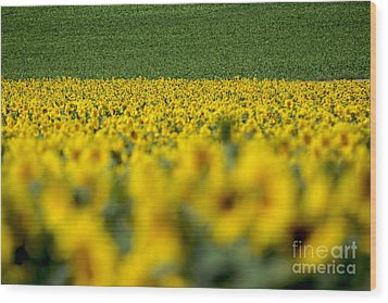 Sunflowers Wood Print by Bernard Jaubert