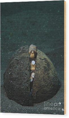 A Coconut Octopus, Lembeh Strait Wood Print by Steve Jones