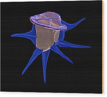 Diatom, Sem Wood Print by Science Photo Library