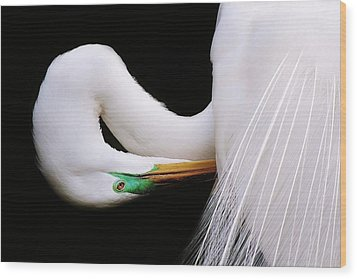 Great White Egret Wood Print by Paulette Thomas