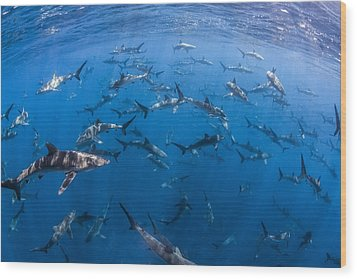 151 Silky Sharks Wood Print