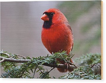 Northern Cardinal Male Wood Print by Dan Ferrin