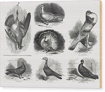 1868 Darwin Pigeon Breeds Illustration Wood Print by Paul D Stewart