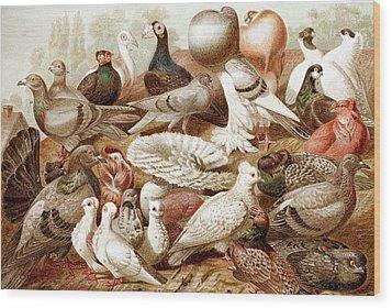 1870 Domestic Fancy Pigeon Breeds Darwin Wood Print