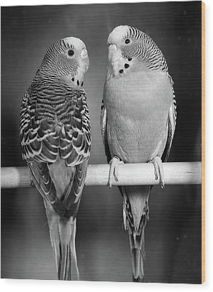 1960s Pair Of Parakeets Perched Wood Print
