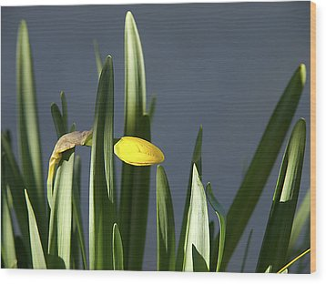 Wood Print featuring the photograph 1st Daff by Joe Schofield
