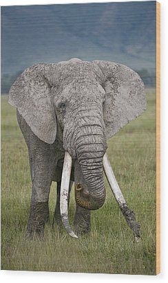 African Elephant Loxodonta Africana Wood Print by Panoramic Images