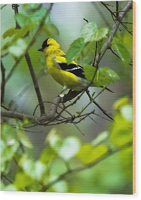 Wood Print featuring the photograph American Goldfinch by Robert L Jackson