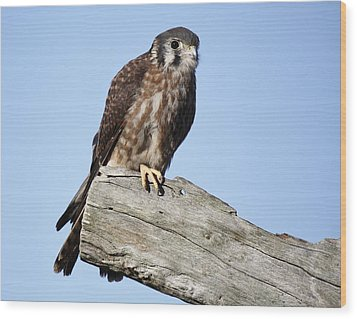 American Kestrel Wood Print by Paulette Thomas