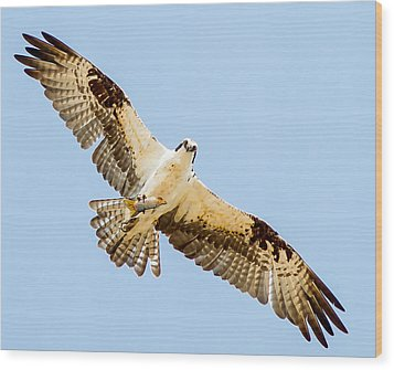 An Osprey Feeding On A Trout Wood Print