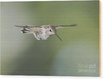 Anna's Hummingbird Wood Print by Dan Suzio