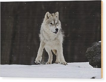Wood Print featuring the photograph Arctic Wolf by Wolves Only