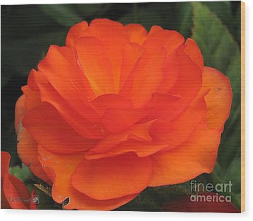 Wood Print featuring the photograph Begonia Named Nonstop Apricot by J McCombie