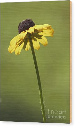 Black-eyed Susan Wood Print by Tony Cordoza