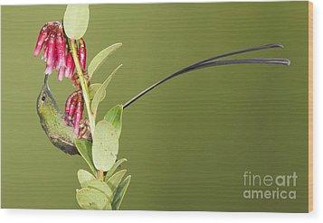 Wood Print featuring the photograph Black-tailed Train Bearer Hummingbird by Dan Suzio