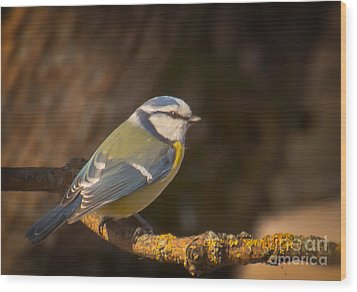 Blue Tit Wood Print by Sylvia  Niklasson